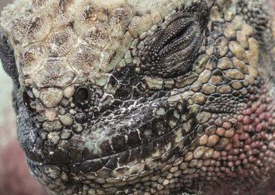iguana-5
