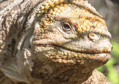 iguana-terrestre